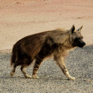 Brown Hyaenas and Desert-adapted Kunene Lions